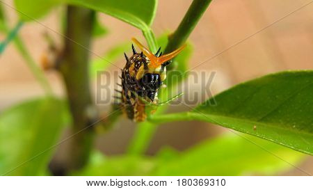 Grub caterpillar insect eating and crawling on a mandarin tree leaf