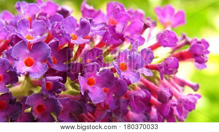 Buddleia Buddleja Butterfly Bush close-up of pink purple flowers against a green background