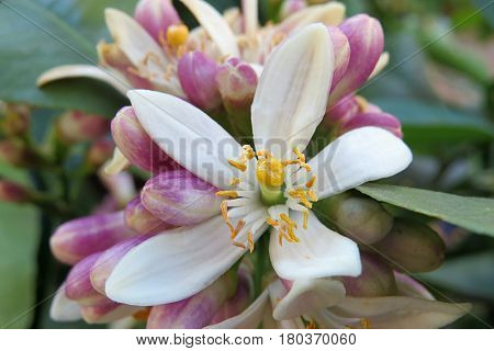 Lemon citrus blossom flower budding bud on fruit tree in garden