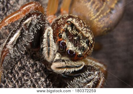 Jumping Spider. Macro shot jumping spider .Home jumping spider