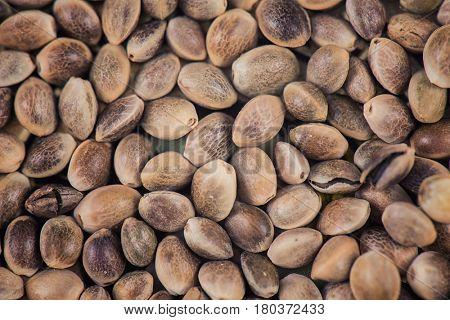 Macro detail of marijuana seeds pattern background - cannabis growing concept