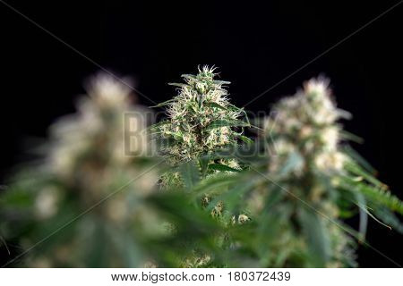 Detail of cannabis cola (Green crack marijuana strain) with visible hairs and leaves on late flowering stage