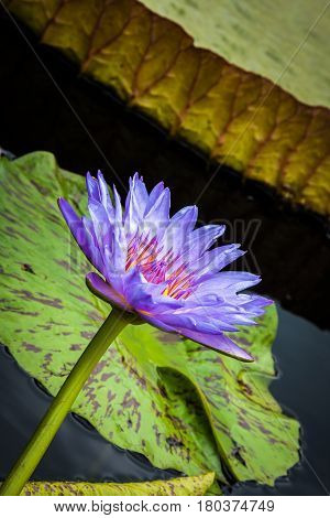 Vertical, slanted image of purple waterlily and lily pad