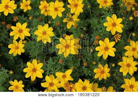 Yellow blooming Cosmos Flower in the garden summer time