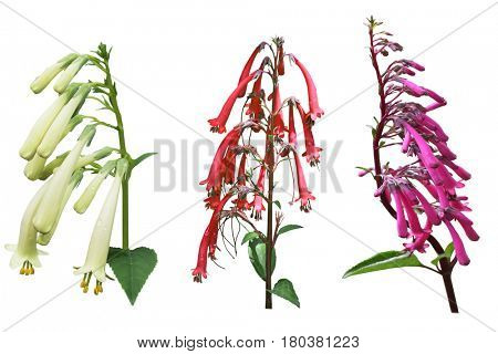 Fuchsia Triphylla Flower Set isolated on white background