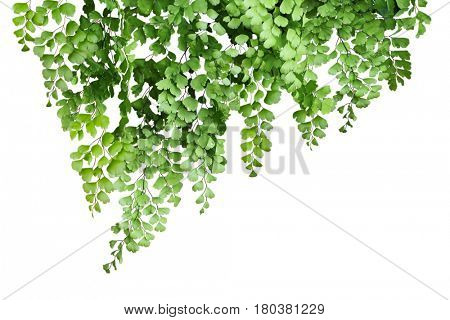 Maidenhair Fern isolated on white background
