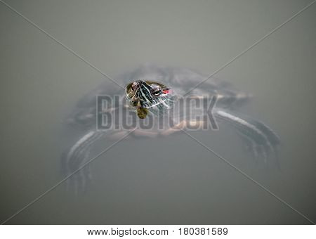 red-eared slider turtle (Trachemys scripta elegans) in pond with head over water outdoor shot