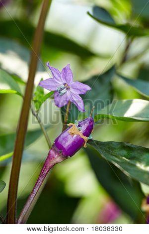 Organic Chili Called Purple Luzi