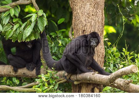 Siamang (Symphalangus syndactylus), adult male on a tree, captive, Singapore