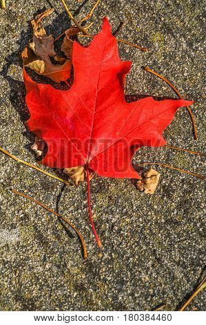 Perfect red maple leaf on the ground with other leaves and stems