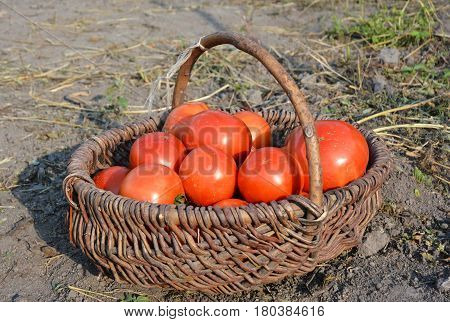 Picking Tomatoes in Basket. Ripening and Harvesting Tomatoes. Tomatoes: Planting Growing and Harvesting Tomato