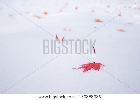 Colourful maple leave falling on fresh white snow ice at public park in TokyoJapan.photo design with copy space for adding your text and artwork