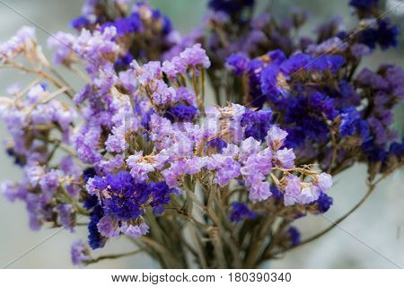 Closeup of the beautiful purple statice flowers