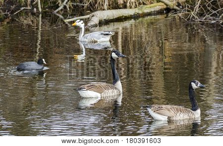 Canada goose-Goose attempts to seduce a female  Large Waterbird of Europe prefer living in lakes