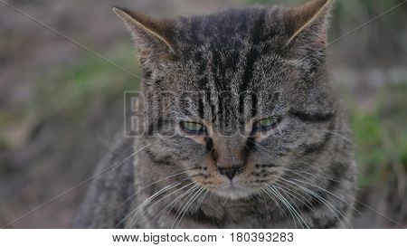 Sad angry cat with funny eyes sits outdoor