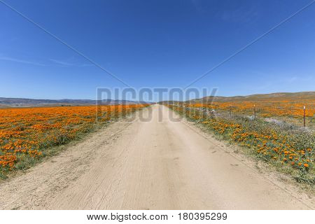 Dirt road through wild poppy fields near Lancaster California.