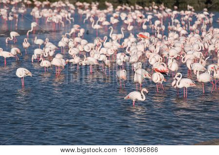 Flock of adorable pink flamingos. Exotic birds standing in a shallow lake.