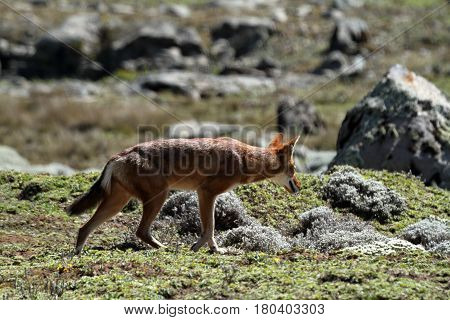 The Ethiopian wolf in the Bale Mountains of Ethiopia in Africa