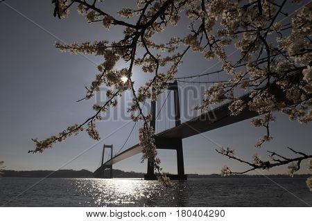 Hawthorn flowers and beautiful suspension bridge in Denmark.