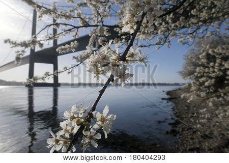 Hawthorn flowers closeup and beautiful suspension bridge in Denmark.