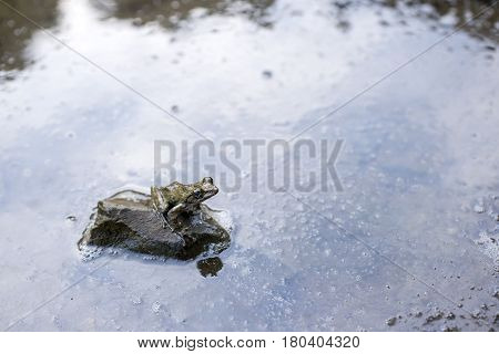 Kajika frog on the stone surrounded by water