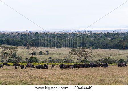 Panorama of savanna. Buffalos. Big herds of Africa. Nakuru, Kenya.