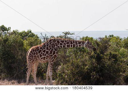 Reticulated giraffe among a tree. Masai Mara, Africa