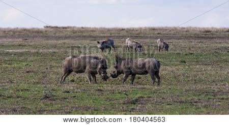 The battle of warthogs in the field. SweetWaters, Kenya