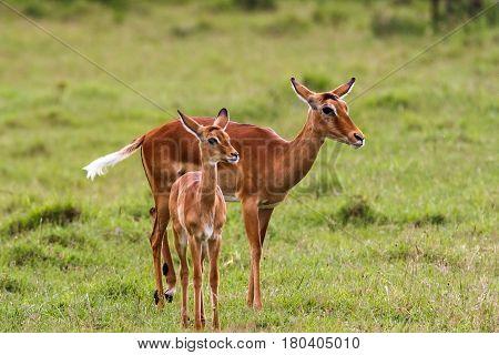 African impala with baby. Nakuru, Kenya. Africa
