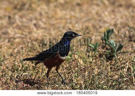 African starling on the ground. Tarangire, Tanzanya