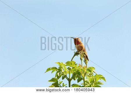 One male Allen's Hummingbird perched on top of Hamelia patens Firebush bush light blue sky background.