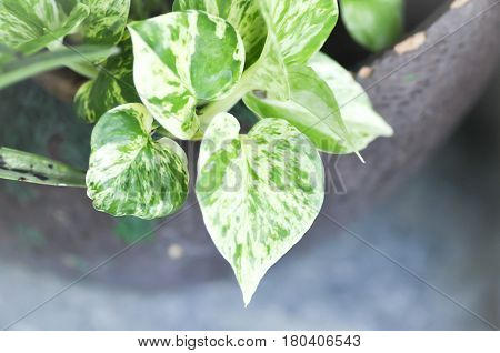 Epipremnum aureum money plant or silver vine in the flowerpot