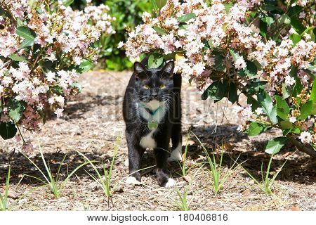 One black and white tuxedo cat walking through dusty bushes with pink flowers. Wearing a collar with name tag. A tuxedo cat or Felix cat in the UK is a bicolor cat with a white and black coat