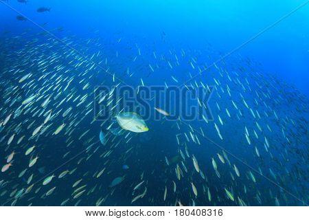 Sardines fish shoal underwater