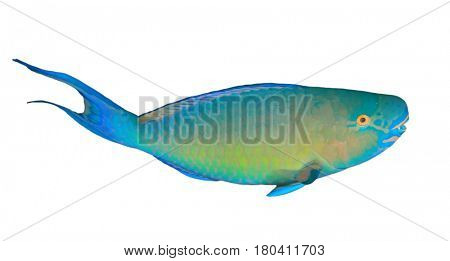 Parrotfish reef fish isolated on white background