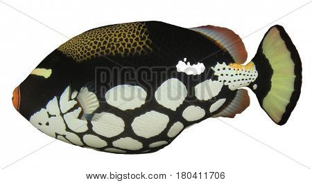 Clown Triggerfish reef fish isolated on white background