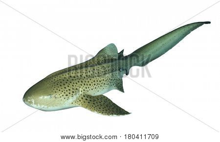 Zebra Shark isolated on white background (Leopard Shark)