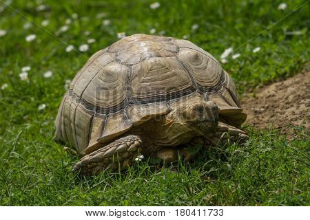 photo of an African Spur-thighed Tortoise walking in the sunshine poster