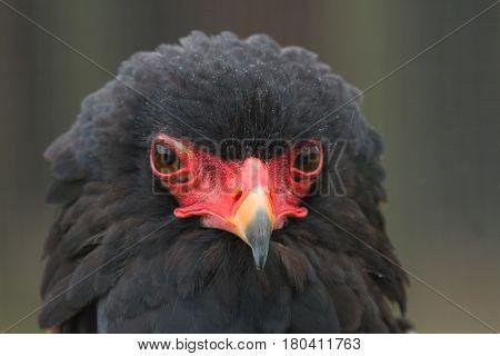 photo portrait of an alert Bateluer Eagle