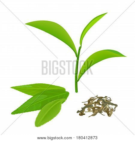 Green tea leaves and twig, fermented tea, isolated on white background. Side view. Close up. Vector illustration. For cooking, food design, cosmetics, medicine, health care, ointments, perfumery, tags
