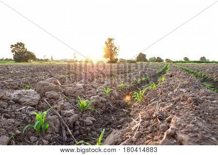 Row pattern of plowed field and sprout corn with sunlight in countryside or rural begin or start up life concept