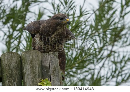 photo of a Common Buzzard getting ready to take off