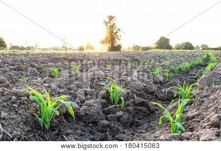 Row Pattern Of Plowed Field And Sprout Corn With Sunlight In Countryside Or Rural, Begin Or Start Up