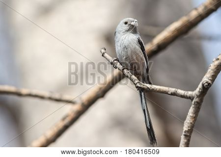 Long-tailed Tit sits on a branch with material for building a nest in the beak