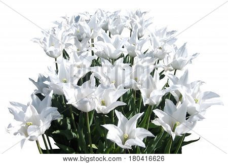 A bouquet of tender white tulips on a transparent background. The file is in .png format. Transparent background.