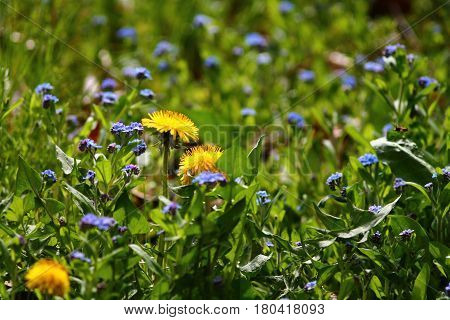 Blue forget-me-not flowers (Myosotis sylvatica) and dandelions in first spring grass.