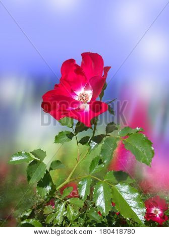 Red briar, on a blue blurred background