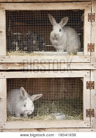 Breeding Rabbits