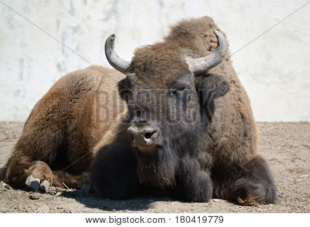 Closeup of a big bison lying down and resting in the zoo