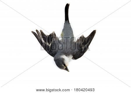 Dead bird background in nature isolated dead bird on white.